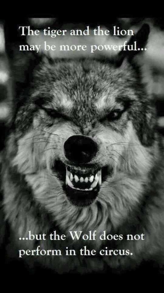 tiger lion wolf